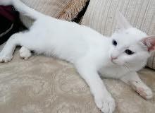 قطه انثى العمر 5 شهور