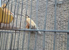 ثلاث طيور كناري فحل للبيع العمر 8 اشهر بدايت تغريد مالت تبزير