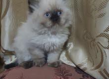 قط هملايا بلو بوينت هير بيور