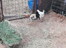 دجاج للبيع مع الشبك