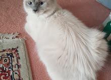 ragdoll راغدول من كندا