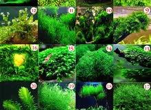 لعشاق الاسماك..بذور نباتات مائية لأحواض السمك