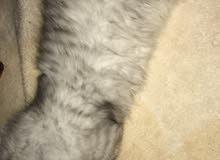 قط شيرازي ذكر للبيع. العمر : 3 شهور واسبوعين