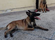ذكر مالينوا عمره 12 شهر ، مدرب على الاحترام و الطاعة، و تخصصه الحماية .