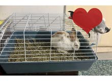 Male Rabbit along with cage available for sale