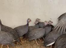 دجاج خيبر للبيع