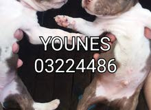 American Staffordshire Terrier Puppies Pitbull for Sale