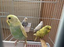 طيور الحب / البادجي / عصافير