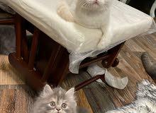 قطط شيرازي للبيع عمر 40 يوم