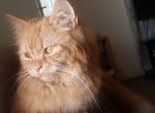قطه شيرازي حامل للبيع