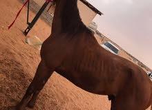 حصان انقليزي للبيع باوراقه عمره 7