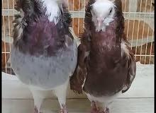 fancy pigeons pairs