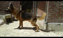 مزرعة كلاب فريخة بالضمان للبيع لعدم التفرغ