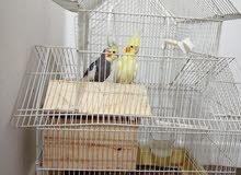 Pair of love birds for sale with Cage