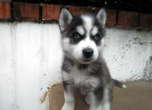 petite husky