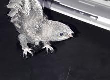 طائر الابابل