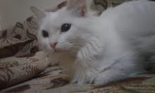 قط شيرازي متوسط ابيض