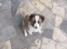 كلب امريكي عمر ثلاثة اشهر