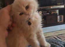 قطة شيرازي مون فيس شيشيلا