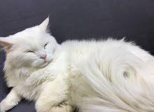 قطة شيرازية بيضاء جميلة