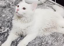 قط شيرازي عمر خمسة اشهر