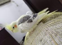 طير الكروان