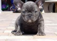 For Sale .......... Superrr (blue french bulldog)
