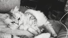 قطة شانشيلا