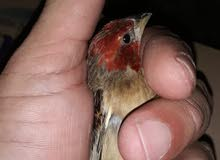 هذا طيور اشقف  وله اسم ثاني بعد  بس هذا طيور من جنوب  افريقي من نوع نوادر