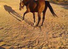 حصان نص دم الأم عربية والأب انجليزي العمر 13 العام