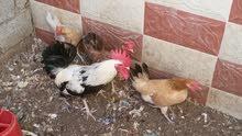دجاج عمانيات للبيع