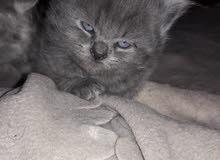 "Persian Cats aka ""Shirazi"" for sale قطط فارسية للبيع ""شيرازي"""