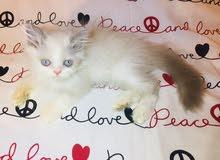 قطط شيرازي عمر 55 يوم