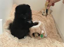 Black Pomeranian Female Puppy For Sale