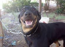 كلب روت تقليب متوسط في مصر القاهره حلوان للتوصل 01122996229 او 01100610104