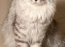 قطة شانشيلا انثى