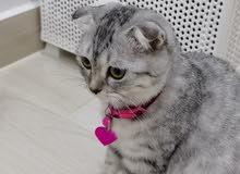للبيع قطة أنثى نمرية سكوتيش فولد