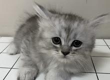 Persian Scottish fold boy kitten شيرازي سكوتش فولد قطة ذكر