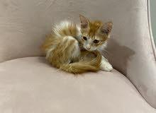 beautiful kitten 3 weeks old