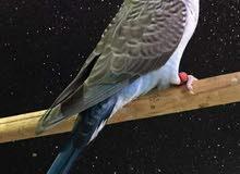 عصافير استرالي