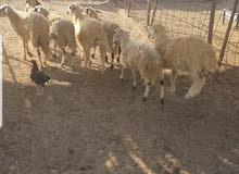 خروف قبرصي
