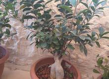نبتة بونساي طبيعي للبيع