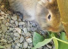 ارانب تربت مزارع