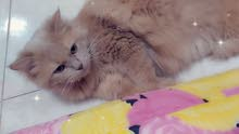 قط شيرازي اللون برتقالي