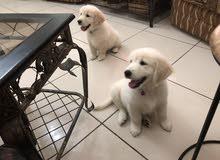 golden retriever puppies pure breed \