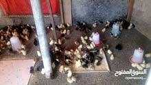 للبيع صيصان دجاج هجين فرنسي حجم طيب