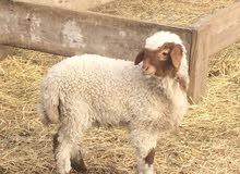 Live awassi sheep