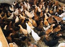دجاج عماني عمر 4 شهور للبيع