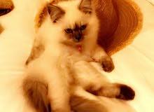 قطة بيرمان