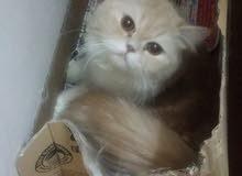قط وقطه واولادهم 3 للبيع لدواعي السفر